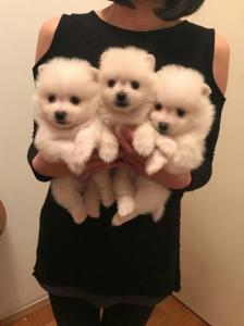 e-PuPz | Find Puppies for sale in the UK for free, Find a