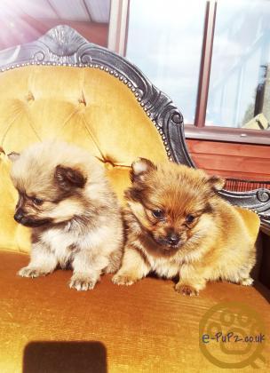 2 boy Poms 8 weeks old. Pomeranian puppies