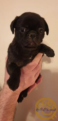 Frug Puppies Vaccinated chipped wormed insurance