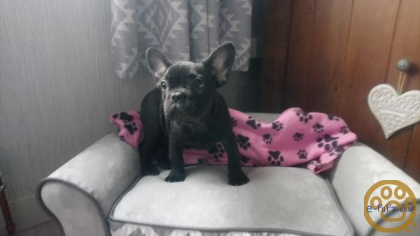 READY NOW FULLY VACINATED KC FRENCH BULLDOG PUPPIES