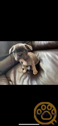 **KC reg - FRENCH bulldog puppies for sale**
