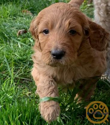 Irish Doodle (f1) Puppies