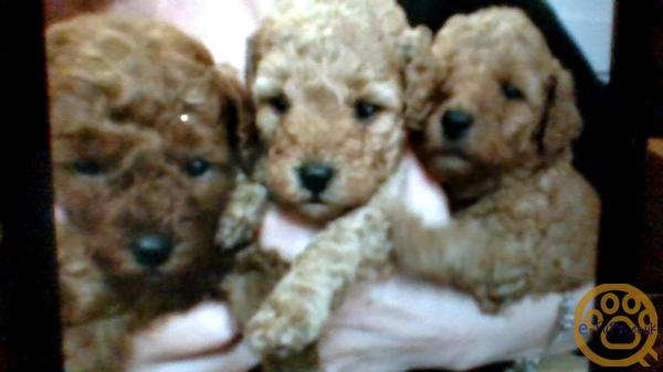 Poochon Puppies