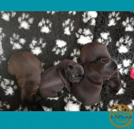 Pug Puppies 2 girls reamining