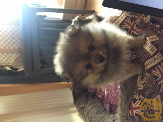Tiny Teddy Bear Pomeranian For Sale