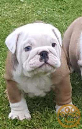 Beautiful chunky British Bulldog puppies