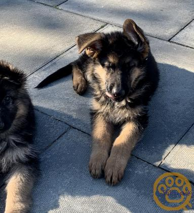 GSD Pups for sale