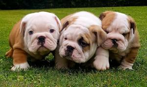 Beautiful chunky British Bulldog puppies
