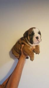 4 Stunning British Bulldogs Red and white + Fawn in colour  1 male and 3 girls left ....... FOR SALE