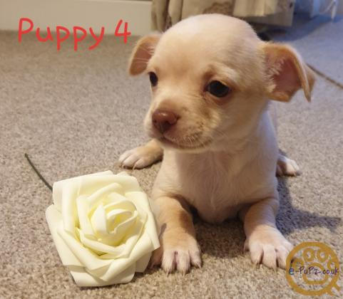 4 Stunning Chihuahua Little boys