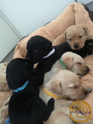 Beautiful yellow and black Labrador puppies for sale