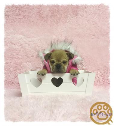 British Bullpei puppies for sale