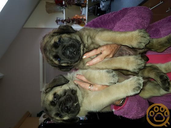 English Mastiff Puppys