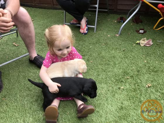 Labrador Puppies, both parents Health tested and KC registered