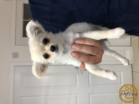 Pedigree KC registered Long Coat Chihuahuas