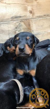 Beautiful Dobermann puppies