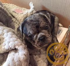Pug French Bulldog - mixed litter, stunning Merle lilac/grey  pups, fawn Merle, blue eyes