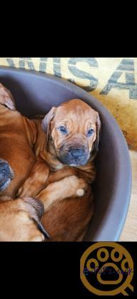 English x French mastiff puppies
