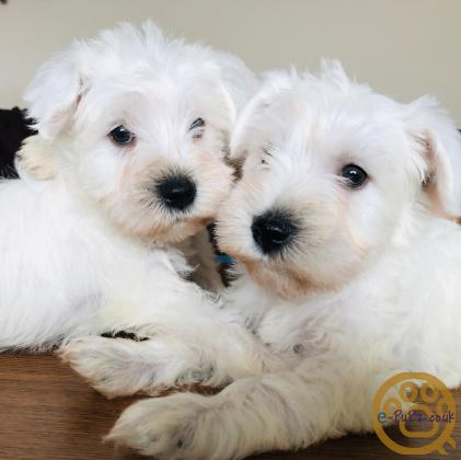 White miniature schnauzers for sale