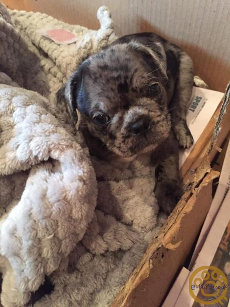 Puppies - Pug French Bulldog Puppies - Merle, mixed litter