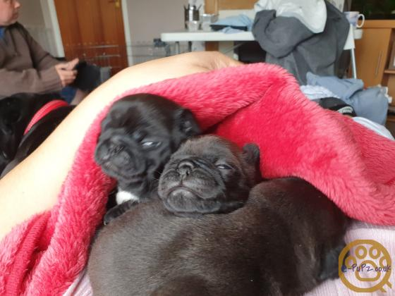 Beautiful KC Black and chocolate Pug puppie girl ready now