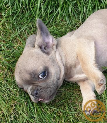 **Ready Now 9 Wk Old KG Reg French Bulldog Pups**