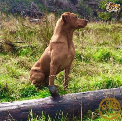 Adorable Working bred Fox Red & Yellow Labrador Puppies For Sale