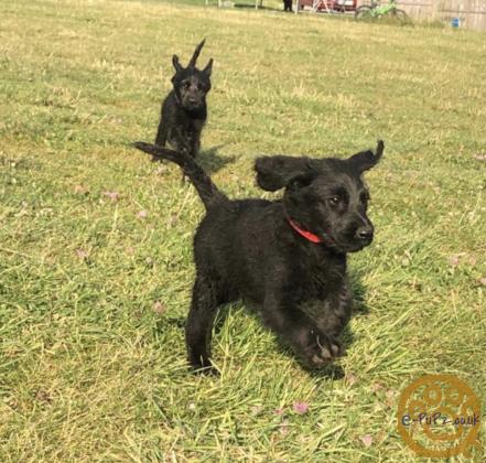 Labradoodle F1 puppies amazing