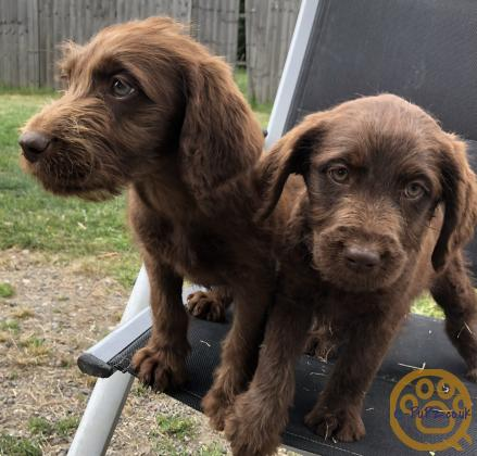 Labradoodle F1 puppies amazing