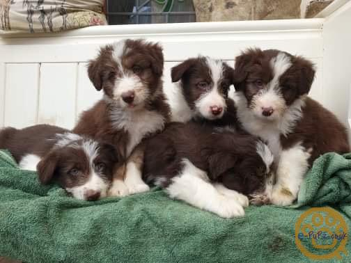 Bearded collie x border collie puppies