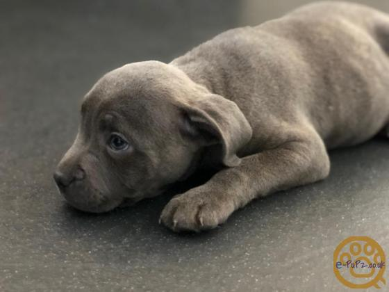 BLUE STAFFORDSHIRE BULL TERRIER PUPIES
