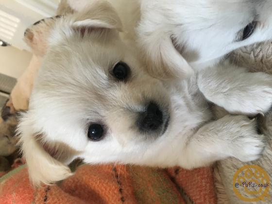 Chihuahua fur babies