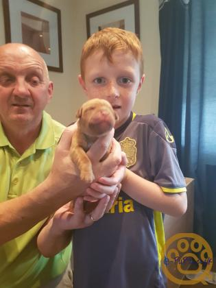 Douge de boardeaux pups for sale
