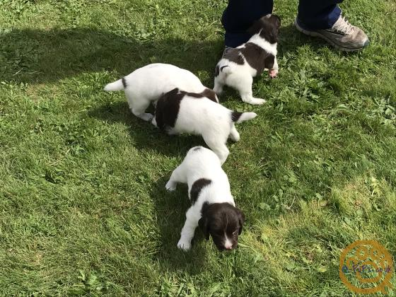 English Springer Spaniel Pups