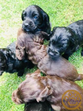FTCH Sired cocker puppys