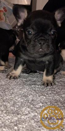 KC registered Frenchie pups, french bulldogs