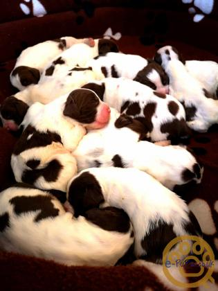 KC REGISTERED PUPPIES FOR SALE