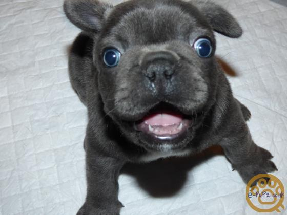 Lilac/Blue French Bulldog Puppies