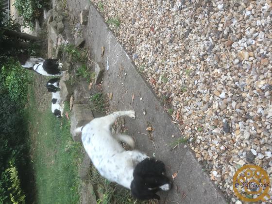 Springer Spaniel Dog Pups