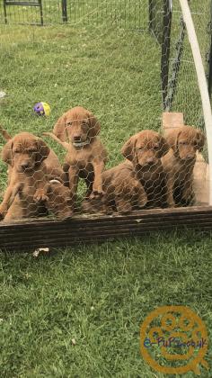 Stunning Hungarian Vizsla pups