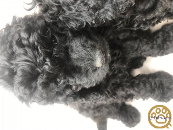 F1b cockapoo puppies ready for there new homes