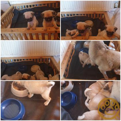 Pure bred pug puppies white KC dad and fawn mom