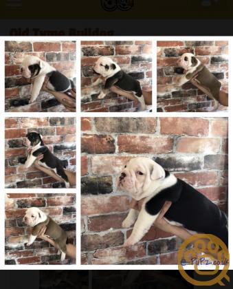 old tyme bulldog pups