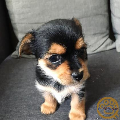 Adorable little Chorkies - only one boy left