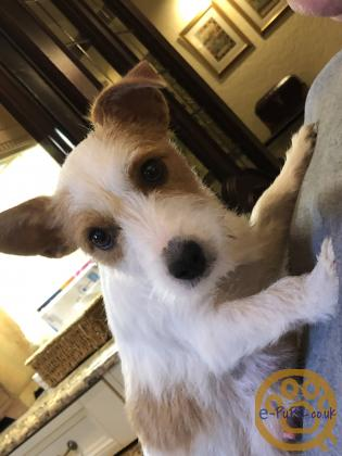 Westie/ Shit Zu & Jack Russell X Puppies For Sale