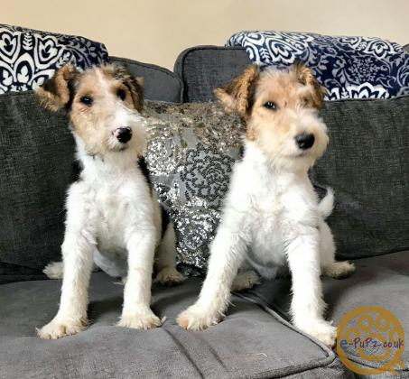 Wire Haired Fox Terrier Puppies For Sale