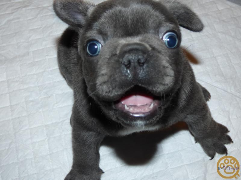 Puppies - Lilac/Blue French Bulldog Puppies for sale in the UK