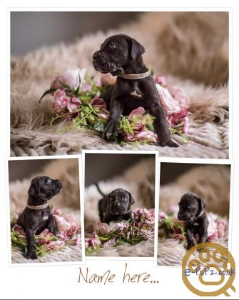 4 beautiful female cane corso puppies available