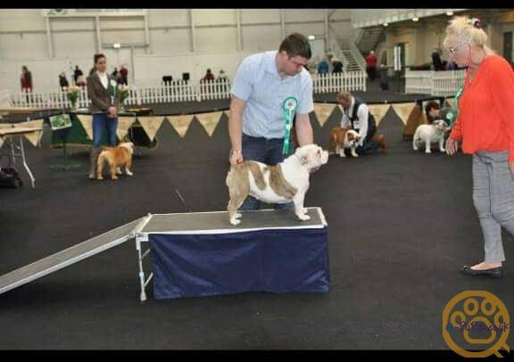 British Bulldog puppy male
