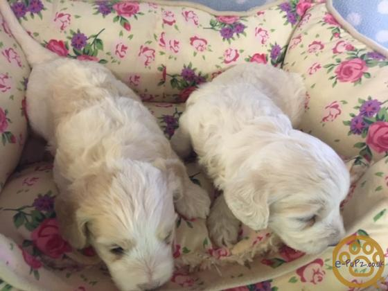 COCKAPOOCHON PUPPIES - STUNNING, LOW SHEDDING PUPPIES, AVAILABLE FROM SEPTEMBER16
